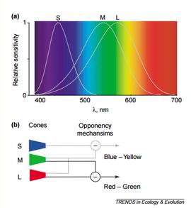 longitud de onda color frecuencias conos RGB azul rojo verde