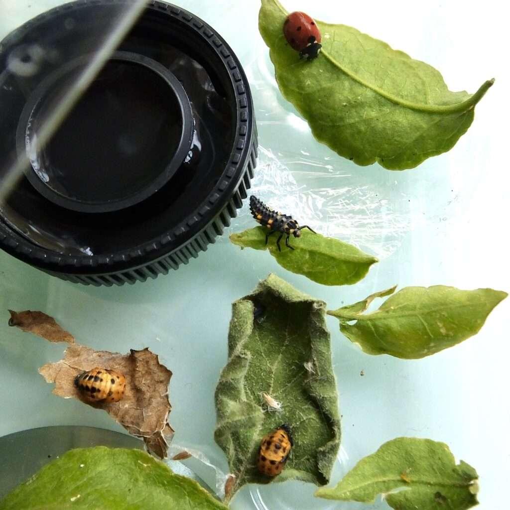 marieta pupa larva adulta mariquitarium marietari terrari marietes vaquitas de sant antonio