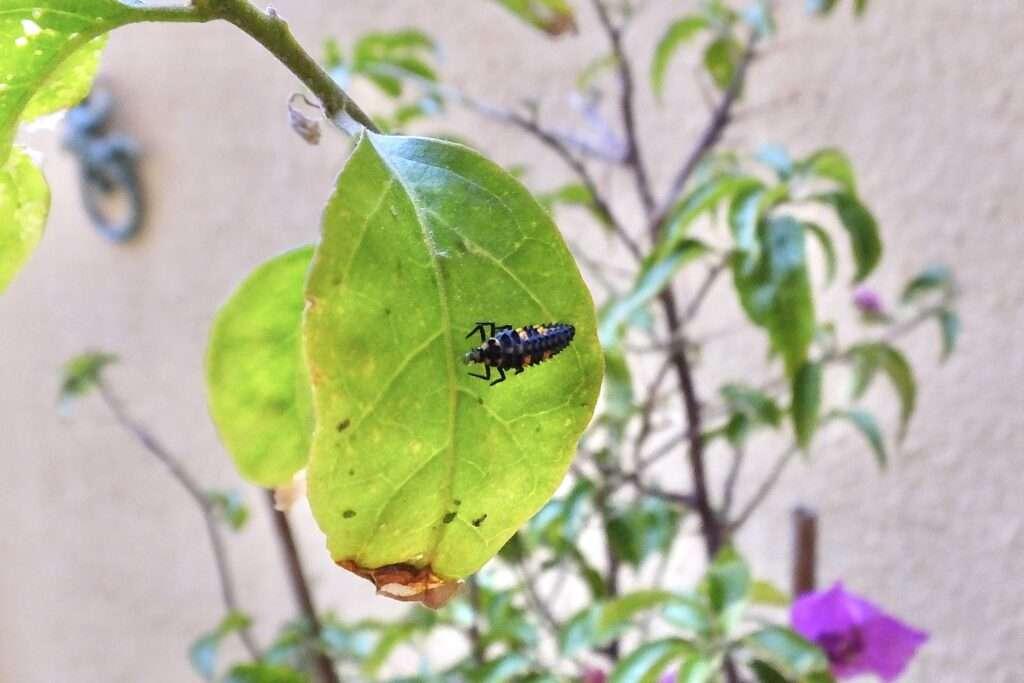 Larva marieta menjant pugo